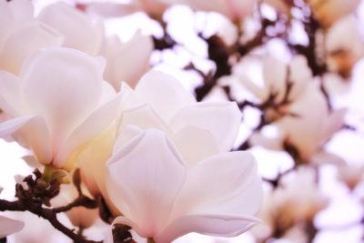 鬼滅の刃23巻(最終巻)でねづこが持ってる花は?花言葉や意味が素敵!